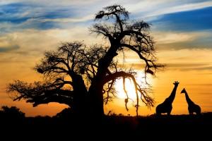 Baobab-giraffes-Mapungubwe-National-Park