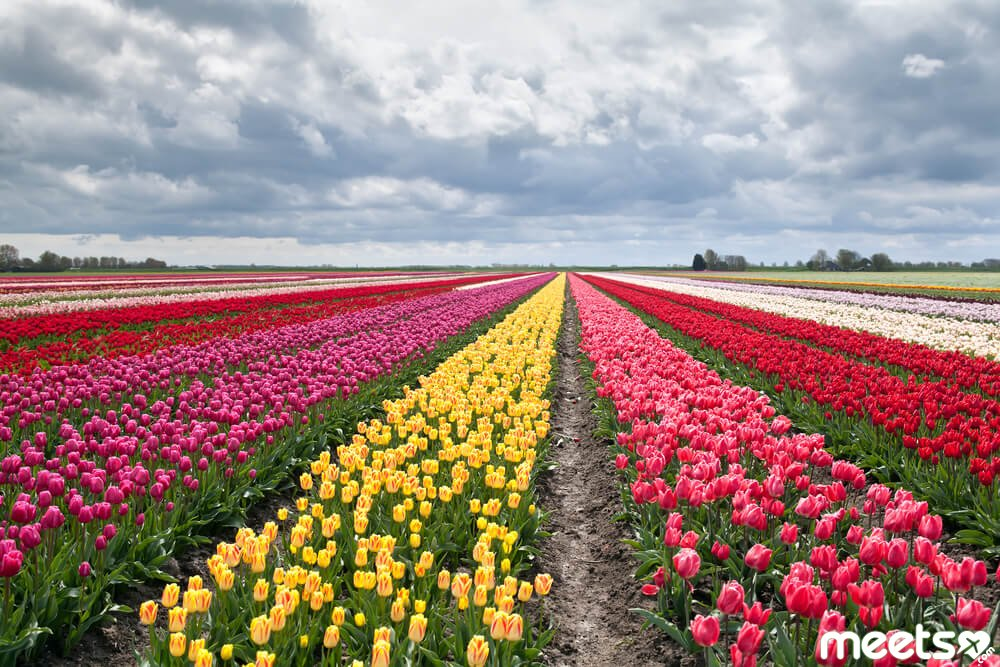 tulips on fields during spring